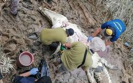 Dùng thịt gà để nhử, nhóm người bắt được con cá sấu khổng lồ, sau khi mổ bụng ra nhiều người bất ngờ òa khóc