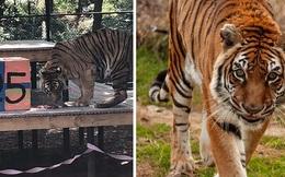 Con hổ sống lâu nhất thế giới trong khu bảo tồn, ăn bằng 'đĩa bạc', có hồ bơi riêng