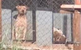 Brazil: Tới gặp bạn trai, người phụ nữ bị 6 con pitbull cắn xé