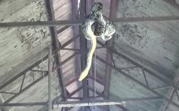 Gia chủ hoảng hốt phát hiện con trăn khổng lồ trốn trong nhà suốt nhiều ngày