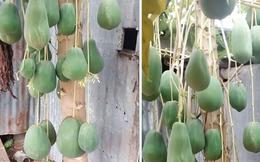 """Thêm một cây đu đủ được dân mạng định giá 7 tỷ vì mọc quả siêu """"dị biệt"""", ở Việt Nam chắc hiếm nơi nào trồng được"""