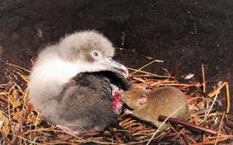 Kinh hoàng chuột hợp thành nhóm đi săn mồi, hung hãn cắn xé, ăn não chim hải âu