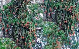 """Cây thanh long """"sai trái"""" nhất Việt Nam: Ra quả bạt ngàn nhưng lại mọc ở nơi vô cùng trắc trở"""