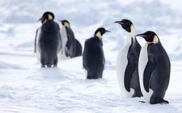 Cảnh báo lạnh người về sự tồn vong của loài chim cánh cụt hoàng đế