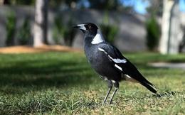 Bất ngờ bị chim dữ tấn công khi mẹ đang bế, bé 5 tháng tuổi tử vong