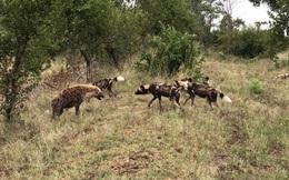 Clip: Linh cẩu bỏ chạy sau màn đối đầu với chó hoang châu Phi