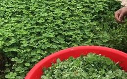 Cứ tưởng là đồ bỏ đi nhưng người Việt đã dùng 1 loại cỏ 4 lá để nấu canh cua cực ngon