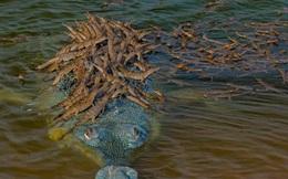 Cá sấu dài hơn 2 mét chồm lên cắn, bà lão gần 70 tuổi đánh lại và cái kết