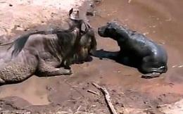 Clip: Hà mã con lầm tưởng linh dương đầu bò là mẹ