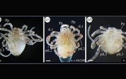 Các nhà khoa học đã làm thế nào để biến nhện chân dài thành chân ngắn?
