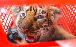 Tin mới vụ vận chuyển 7 con hổ trái phép