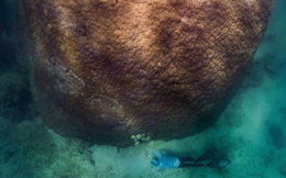 Phát hiện loài san hô 400 năm tuổi lớn nhất và lâu đời nhất ở Úc