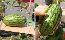 Cô giáo trồng dưa hấu trên sân thượng không ngờ lại ra quả to tới mức phải làm giá đỡ, khi bổ ra mới vỡ oà
