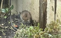 Phát hiện con vật béo múp trong vườn, bà mẹ tưởng là chuột nhưng lên mạng hỏi thì mới giật mình