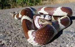 LẠ: Thằn lằn bị nuốt vào bụng vẫn thò đầu cắn lại rắn