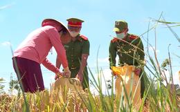 Công an Đà Nẵng giúp nông dân thu hoạch lúa chín trong ngày giãn cách