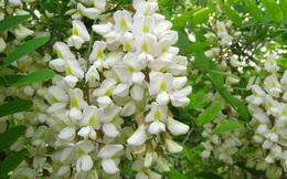 Người bệnh tăng huyết áp chớ bỏ qua loại hoa này
