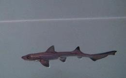 Hai con cá mập cái sống chung nhau 10 năm không có cá đực, bất ngờ sinh ra một cá mập con