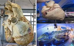 Trái tim cá voi xanh được bảo tồn hoàn chỉnh đầu tiên trên thế giới có kích thước khổng lồ: Dự tính nó có thể tồn tại đến 1000 năm!