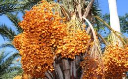 Một loại quả giới nhà giàu Dubai quý như vàng, ngay tại Việt Nam cũng có vùng trồng cực nhiều