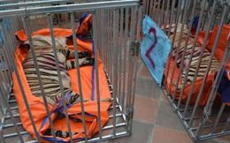 Làm rõ nguyên nhân vì sao 8/17 con hổ chết trong quá trình giải cứu?