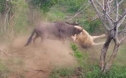 Clip: Dùng trí thông minh, linh dương đầu bò thoát chết thần kỳ khỏi sư tử