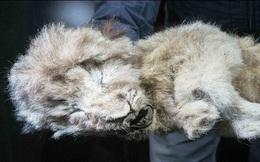 Phát hiện xác ướp sư tử còn nguyên nội tạng sau 28.000 năm