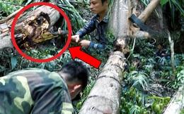 Chặt cây cọ gục đổ do bão giữa rừng, bắt được vô số sinh vật tương tự con đuông dừa nức tiếng miền Tây