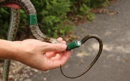 Các nhà khoa học trở lại vùng loại trừ hạt nhân Fukushima, bắt những con rắn nhiễm xạ để nghiên cứu