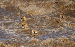 Câu chuyện nghẹt thở đằng sau bức ảnh bầy báo gêpa bơi trong nước lũ, liệu chúng có thành công?