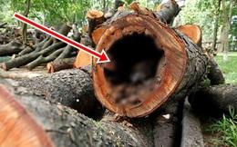 Đốn phải 1 cái cây thân rỗng, thứ tìm thấy bên trong khiến chàng trai không khỏi hoảng hồn