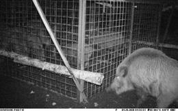 Thấy con non mắc bẫy, lợn rừng mẹ làm ra hành động khiến các nhà nghiên cứu cũng choáng váng