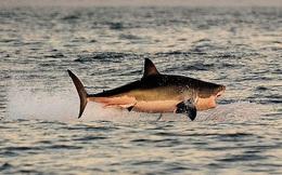 Loài vật khiến cá mập trắng khiếp sợ, hễ nhìn thấy là chúng trốn ngay sang vùng biển khác