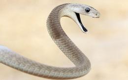 10 loài rắn nguy hiểm nhất thế giới, nếu có gặp thì phải né luôn và ngay