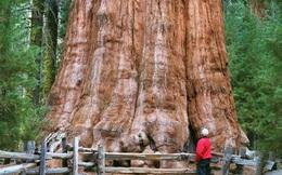 Cây khổng lồ nhất hành tinh đang bị đe dọa bởi nạn cháy rừng