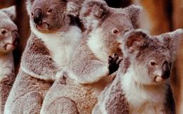 Australia mất đi 1/3 số Koala trong 3 năm qua