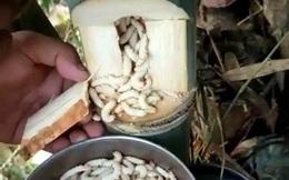 Thấy cả đống sinh vật lúc nhúc trong thân tre, ai cũng rùng mình: Không ngờ có người đem về nấu ăn