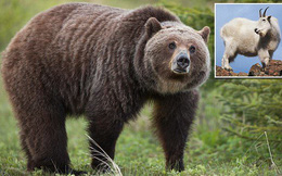 Dê núi húc chết gấu xám trong cuộc chiến đấu hiếm hoi ở Canada