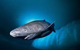 Loài cá mập thọ nhất thế giới: Sống trăm năm mà vẫn chưa đến tuổi dậy thì!