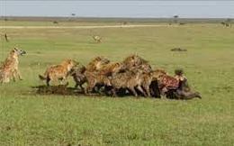 Bầy sư tử ác chiến với linh cẩu giành xác trâu rừng