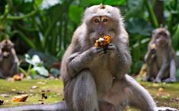 Đàn khỉ đói vào nhà dân cướp đồ ăn trên đảo Bali