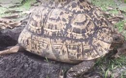 Thấy có con rùa lạ nằm im 1 chỗ trong vườn suốt nhiều ngày, tò mò lật ra xem, chàng trai lặng người vì cảnh tượng phía dưới