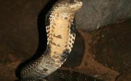 Chuyện về rắn hổ chúa nghiện nha phiến
