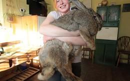 """Anh: Chú thỏ """"bự con"""" nhất thế giới"""