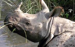 Thực hư sừng tê giác có tác dụng chữa bách bệnh