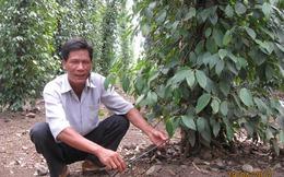 Tỷ phú Đồng Nai trồng tiêu giỏi nhất thế giới