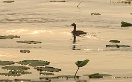 Săn 'chim quý' le le ở Hồ Tây