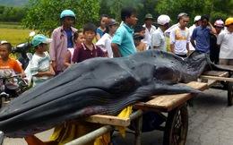 Cá voi hình lưỡi kiếm dạt vào bờ biển Chân Mây