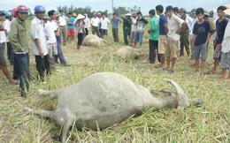 Hà Tĩnh: Điện giật chết... 3 con trâu
