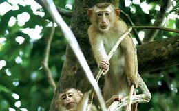 Sự tàn ác của cuộc tận diệt loài khỉ ở Việt Nam